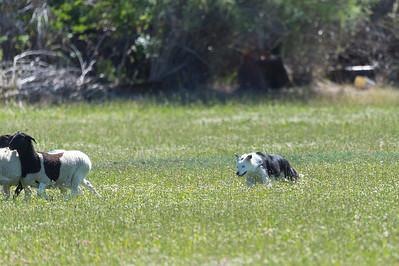 ABMC Herding Trials and Tests June 6-7 2020