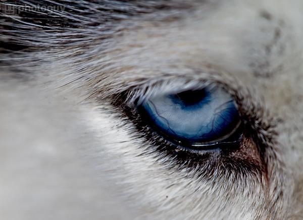 Siberian Husky Dog Eye
