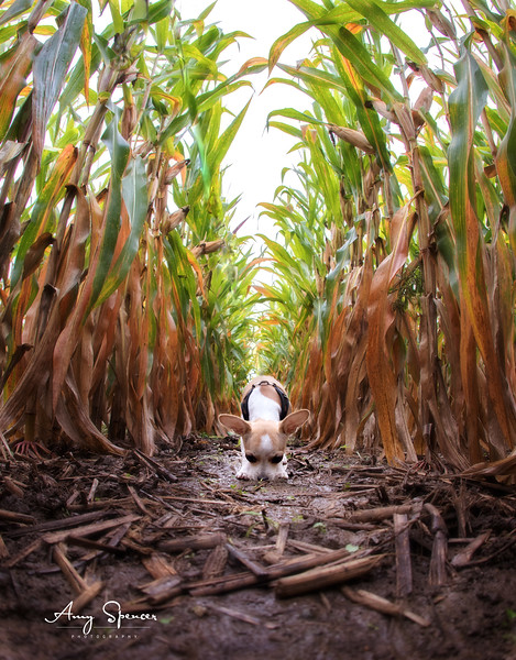 3 month old Remi in a muddy cornfield