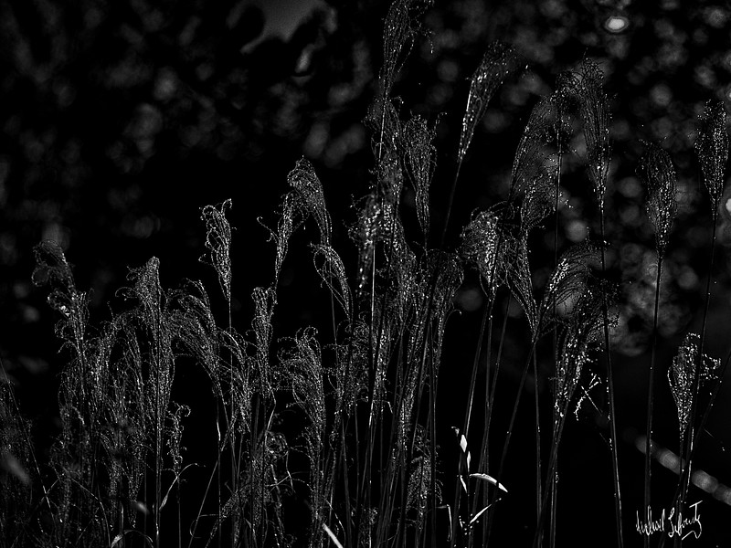 reed s in the wind b&w 2020