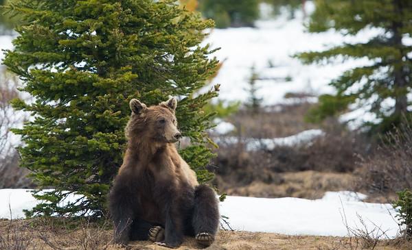 Bear Raws