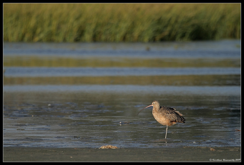 Long billed curlew, Robb Field, San Diego River, San Diego County, California, September 2009