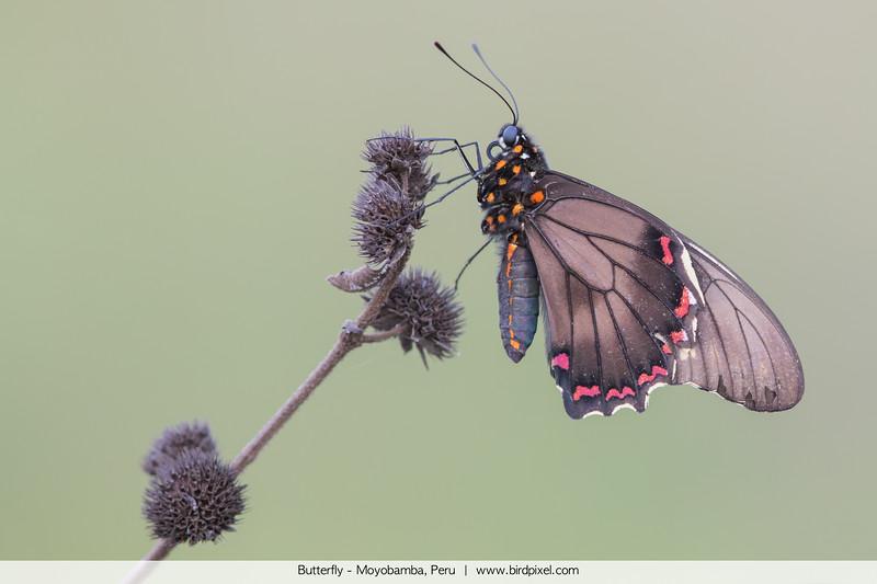 Butterfly - Moyobamba, Peru