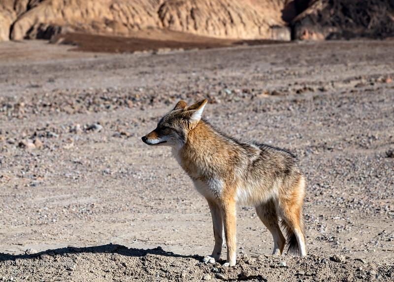 Badwater Coyote 8037-1.jpg