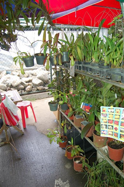 479041463-Nepenthes.jpg
