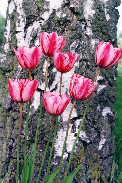 Tulips Feltwell (33934874).JPG