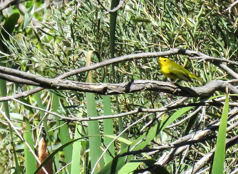 IMG_8662 3 crp Wilson's Warbler Fred Baca.jpg