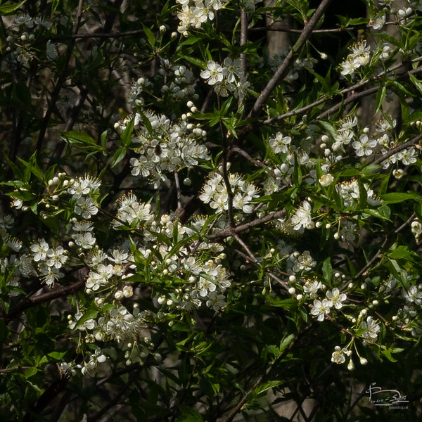 A thicket of blooming trees, crop to flowers