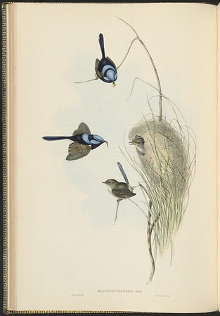 Birds of Australia by John Gould