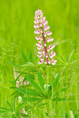 Lupine - Port Wing, WI-02