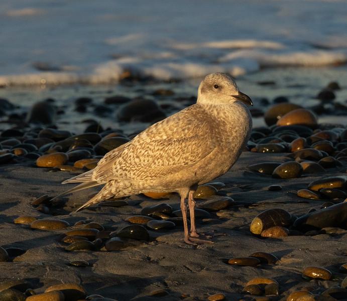 Glaucous Winged Gull  Ponto Beach 2020 12 26-1.CR3