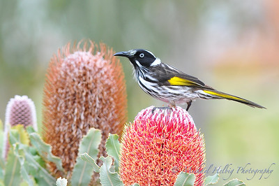 Honeyeaters & Wattlebirds