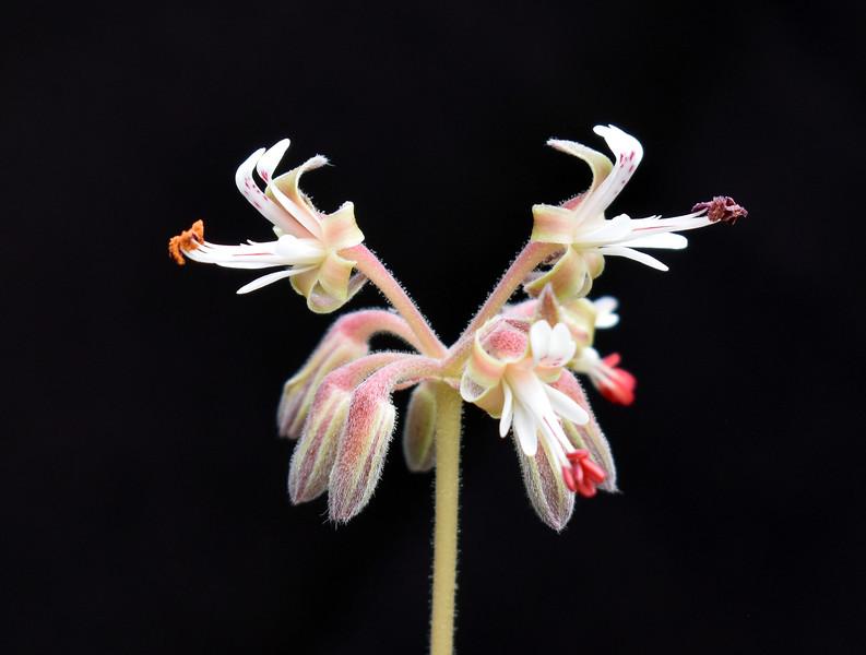 Pelargonium parvipetalum 'Opalina' 2021-03-17