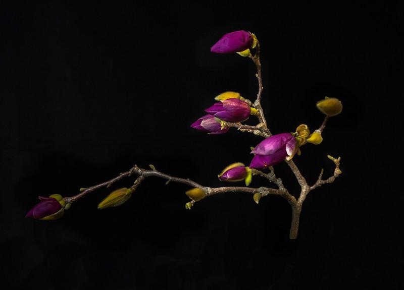 MagnoliaBudding.jpg