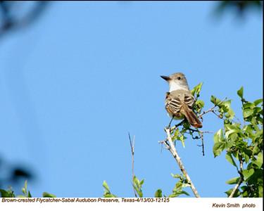 BrownCrestedFlycatcher12125.jpg