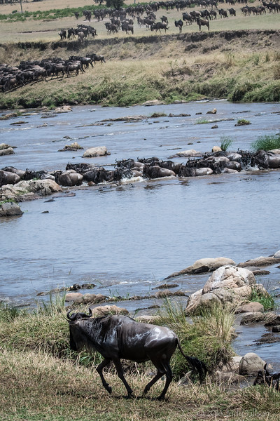 Tanzania Wildebeest crossing Mara River-0060.jpg