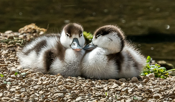 Shelduck Ducklings Gloucestershire 22nd June