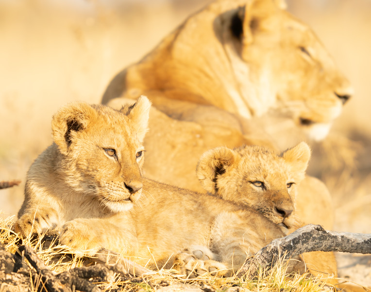 Baby Lions Relaxing