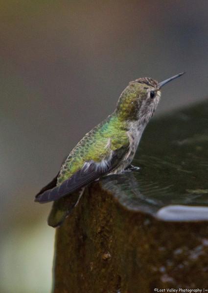 Hummingbird-1735.jpg