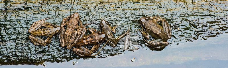 Top view on five skinny common frogs on a branch in the water, stuck in a well