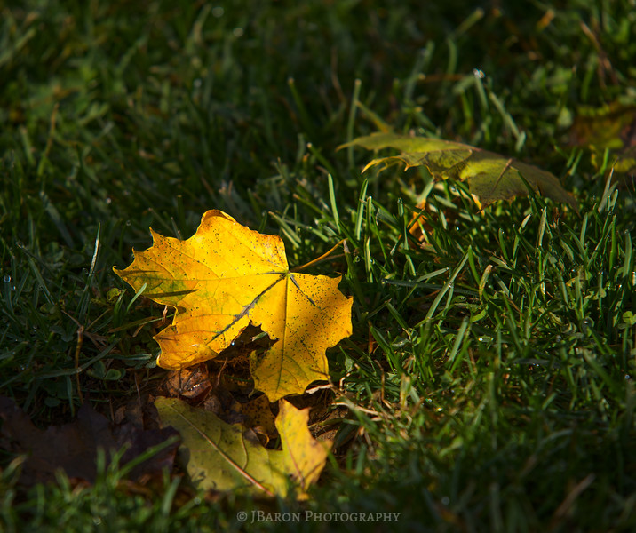 IMGP4683 glowing-yellow-leaf.jpg