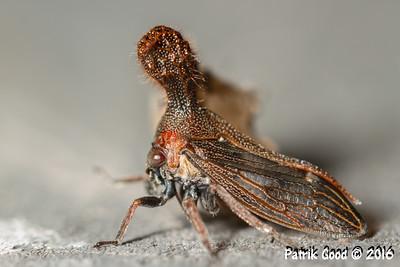 Spike-horned Treehopper