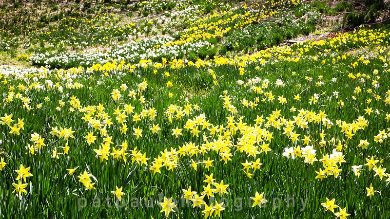 Daffodils-16.jpg