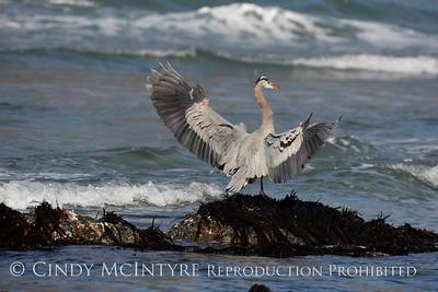 Herons-Egrets
