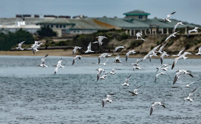 _DSC2315Flock Terns fly Salinas River Monterey Research center.jpg