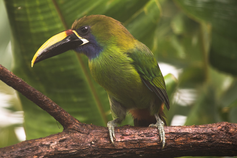 Emerald Toucanet Eating