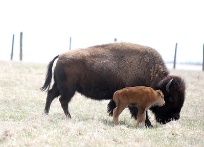 Fermilab Baby Bison