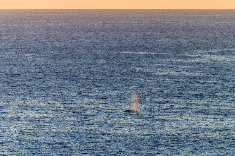 View of spraying whale in sea - USA - California