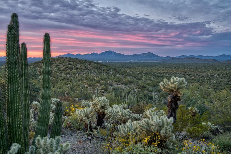 Organ Pipe Cactus 2020-10.jpg