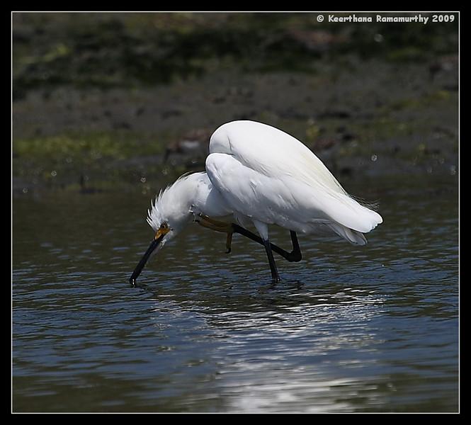 Snowy Egret, Robb Field, San Diego River, San Diego County, California, August 2009