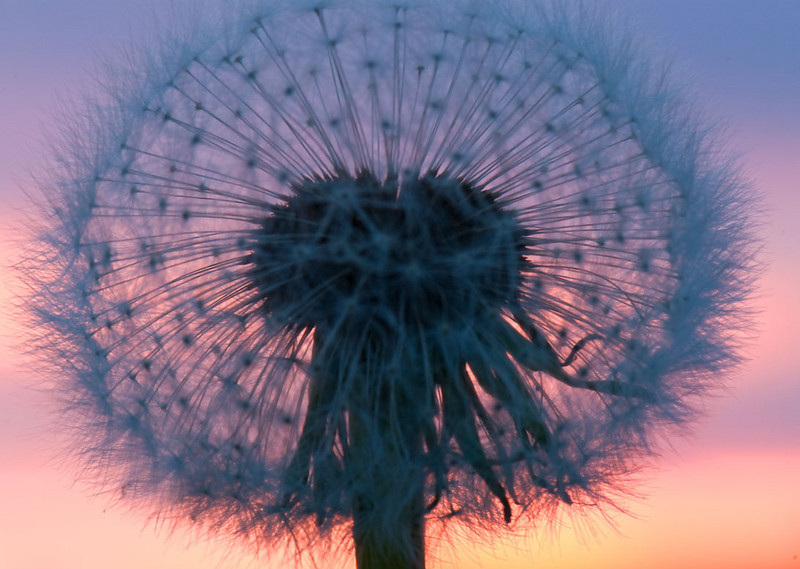 dandelion-sunset.jpg