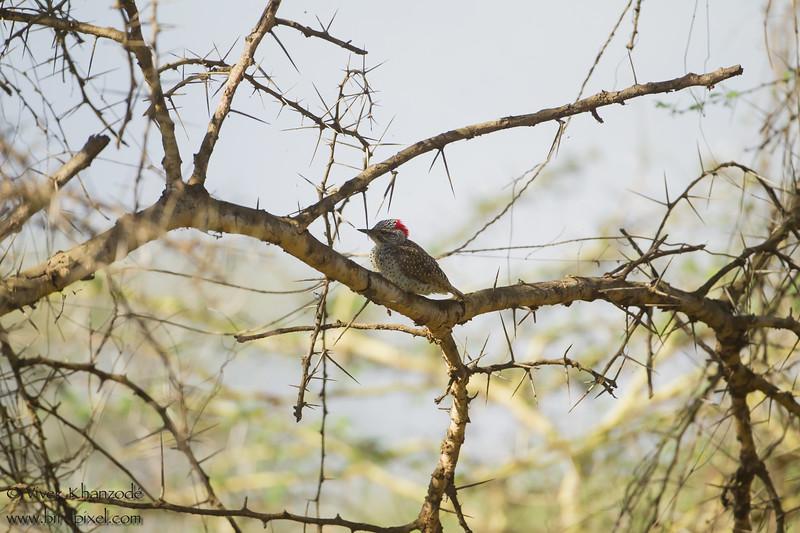 Female Nubian Woodpecker - Arusha National Park, Tanzania