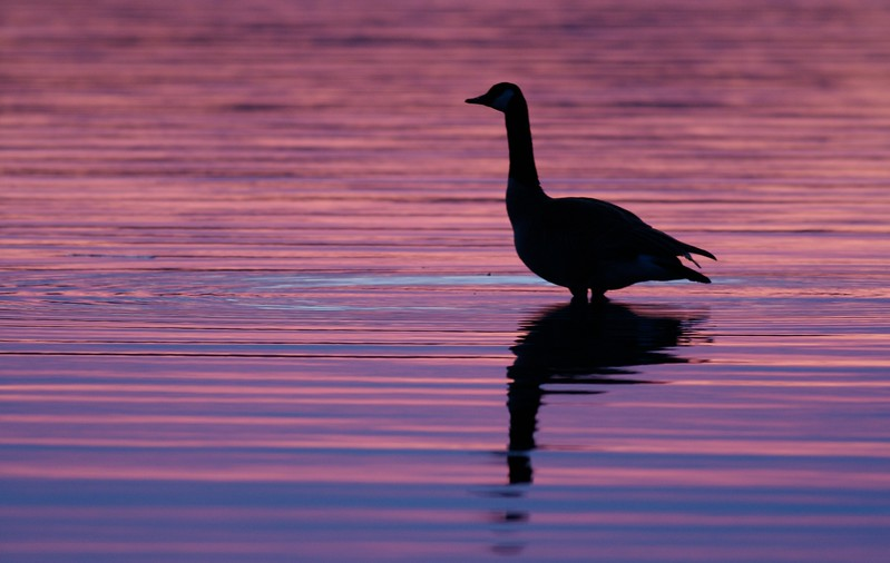 Canada Goose sunset [April; Park Point, Duluth, MN]
