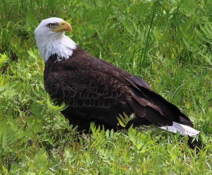 bald eagle wenham lake 56.jpg