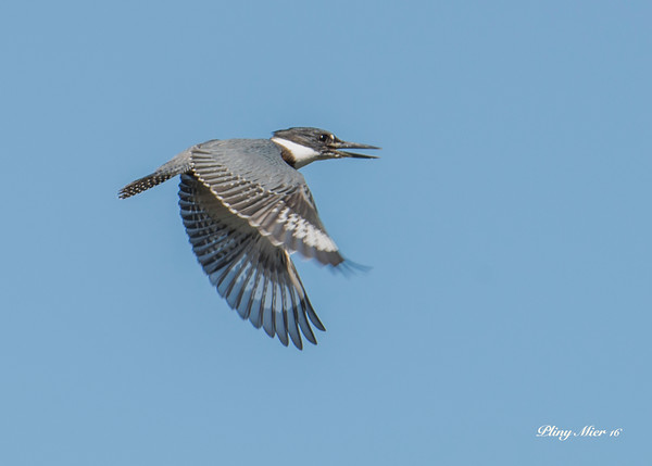 Belted Kingfisher IF_DWL9206.jpg