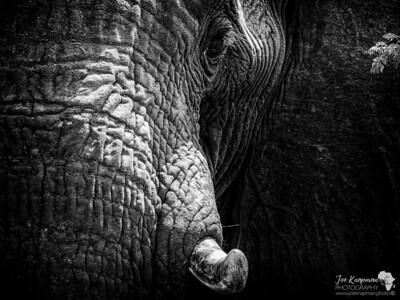 Partial Elephant Portrait