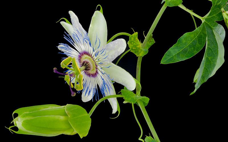 048-Passion Flower & Bud.JPG