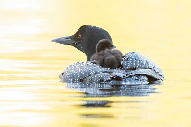 #1233 Common Loons
