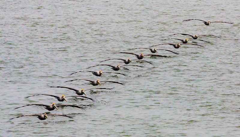 14 Brown Pelicans in ground-effect flight: http://www.uh.edu/engines/GroundEffect.mp4