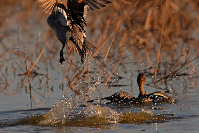 Pintail Lift-off , Colusa