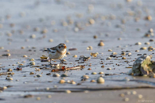 Snow Bunting and Ruddy Turnstone