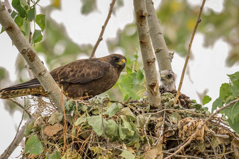 Swainson's Hawk Nest