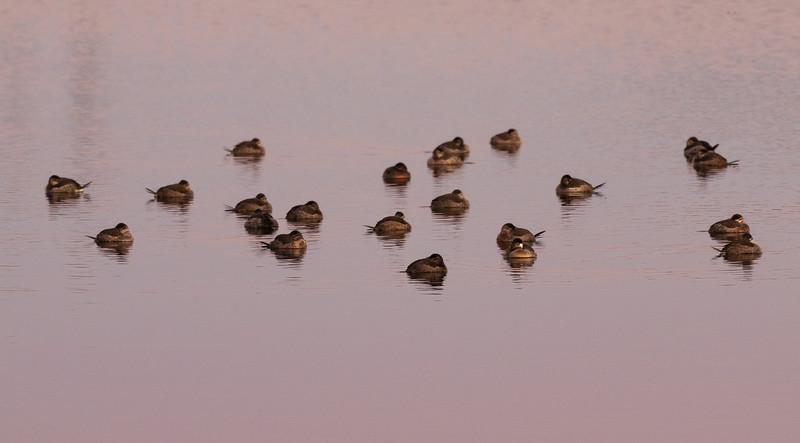 Ruddy Ducks Resting at Sunset.jpg