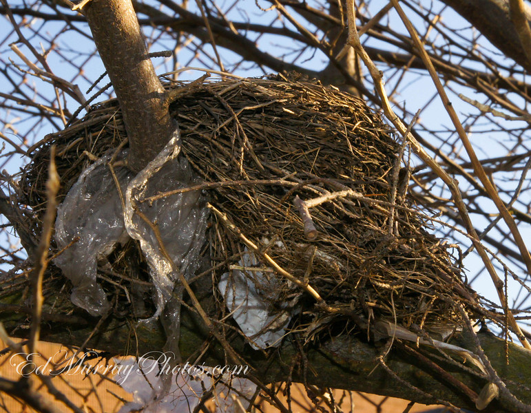 """I wonder if the plastic """"meets code"""" ? : I spied this bird nest during my lunch time walk yesterday. The architect of this fowl dwelling apparently is going """"green"""" by using recycled materials."""