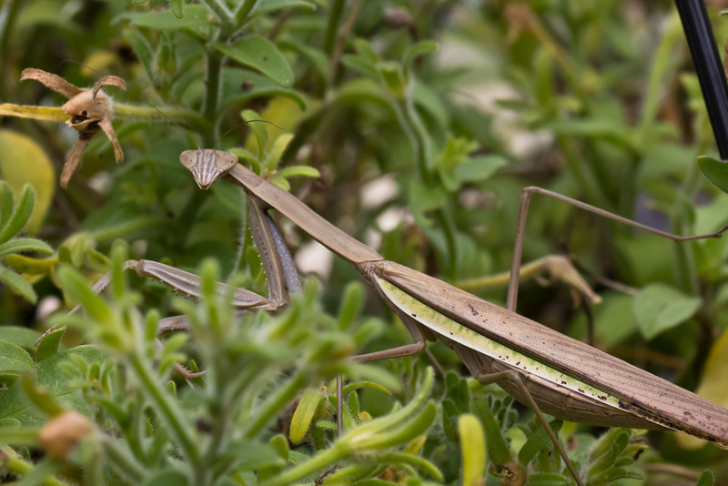 praying mantis-11_September 19, 2011.jpg