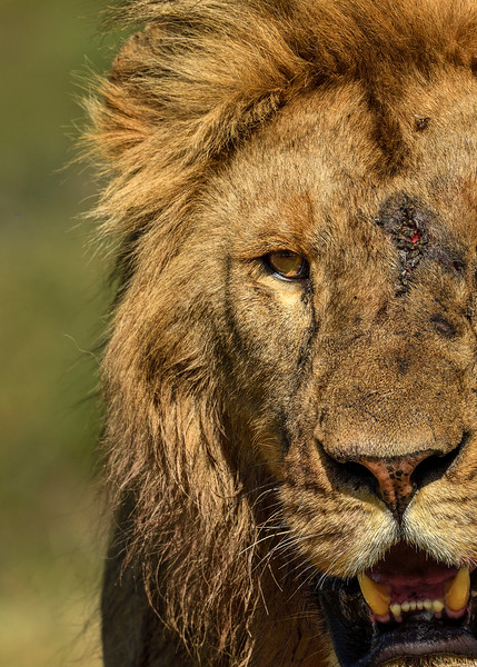 Warrior-Lion-Africa-Serengeti.jpg